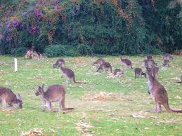 The kangaroos I'd never seen so many and you'd be travelling at the road speed limit of110km/hr the roos would sit on the edge of the roads and if I'd stick my arm out I'd be slapping kangaroos all the way to NSW