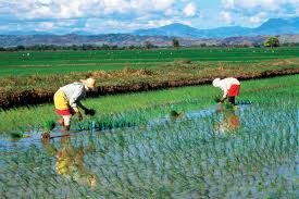 Rice in the Philippines